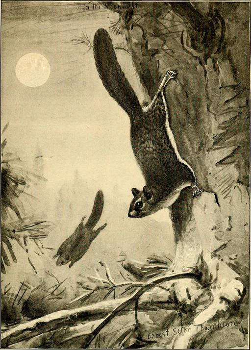Deux écureuils volants