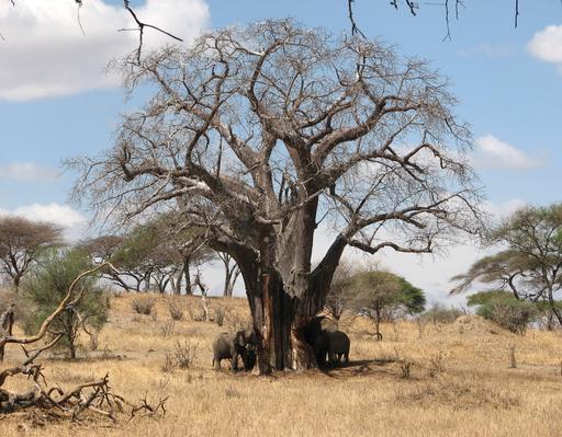 Deux éléphants mangeant l'écorce d'un baobab