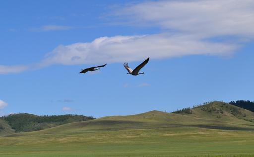Deux grues Demoiselle en vol