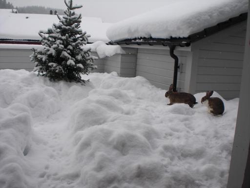 Deux lapins dans la neige