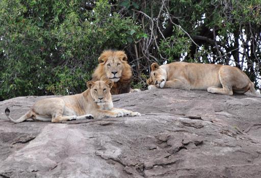 Deux lionnes et un lion