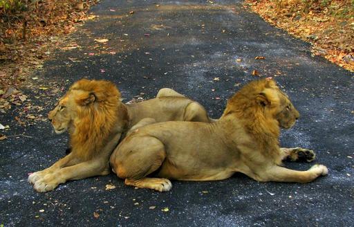 Deux lions asiatiques