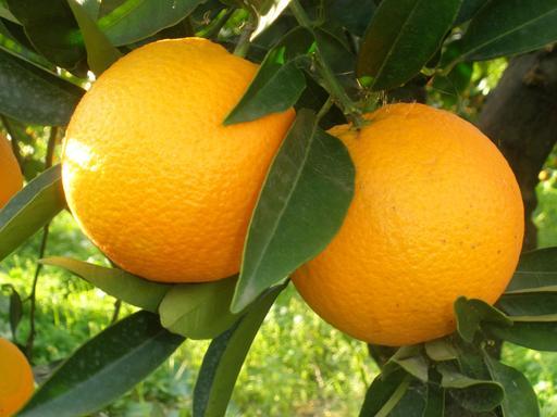 Deux oranges sur l'arbre