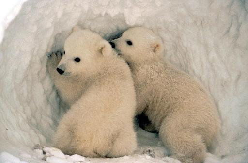 Deux oursons blancs en Alaska