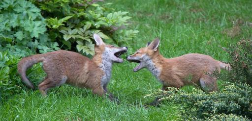 Deux renardeaux en train de jouer