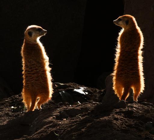 Deux suricates de nuit