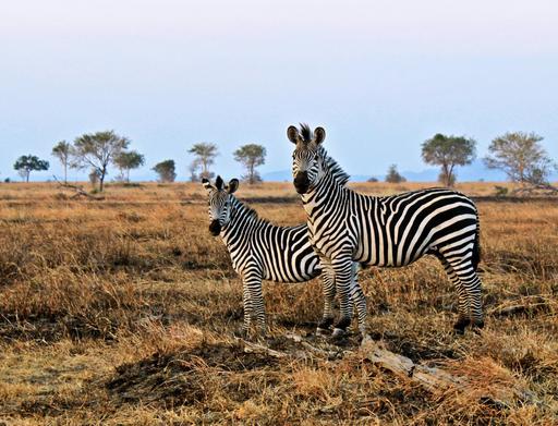 Deux zèbres en Tanzanie