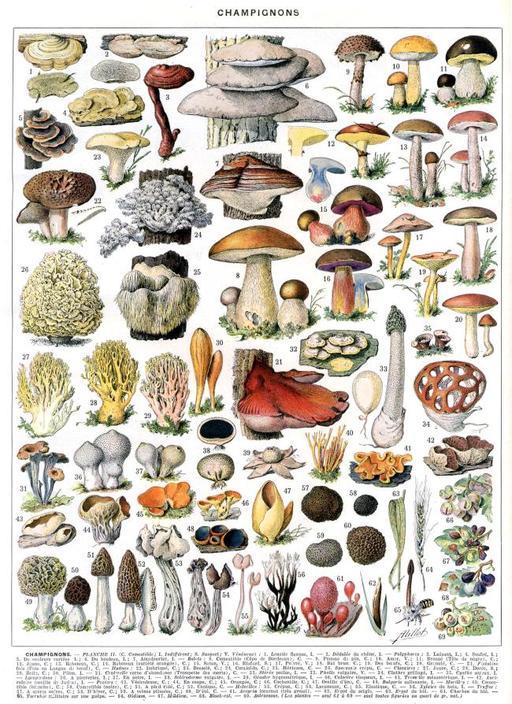 Différentes sortes de champignons