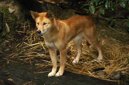 Dingo introduit en Australie