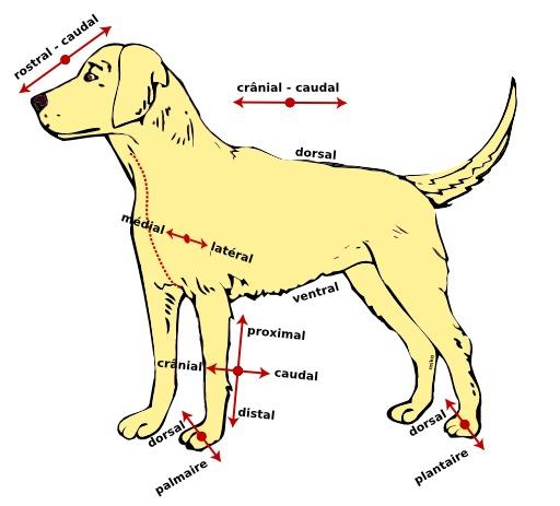 Directions anatomiques d'un chien