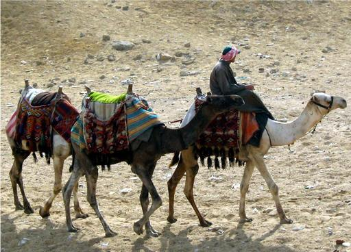 Dromadaires à Gizèh