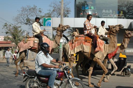 Dromadaires au Bangalore