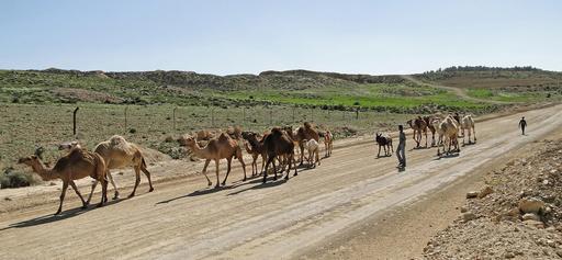 Dromadaires dans la réserve de Dana en Jordanie