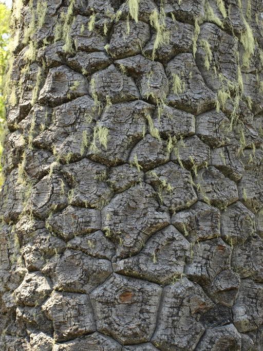 Écorce d'Araucaria du Chili