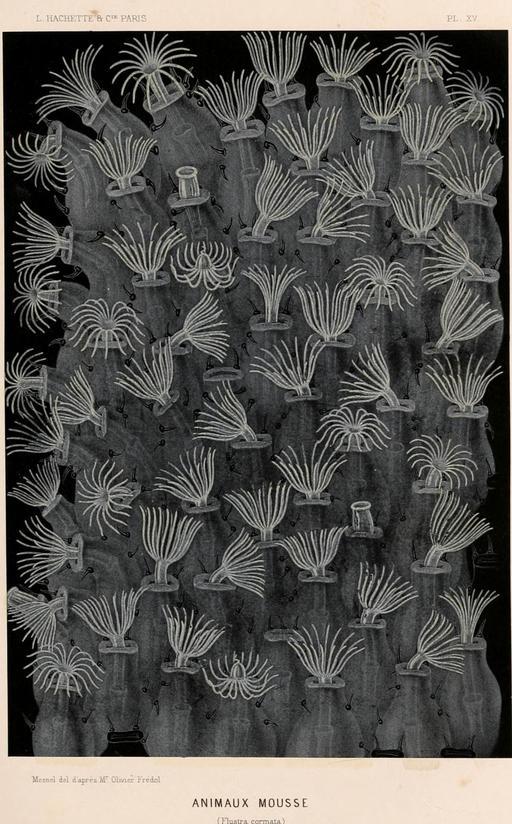 Ectoprocta ou animaux mousse en 1866