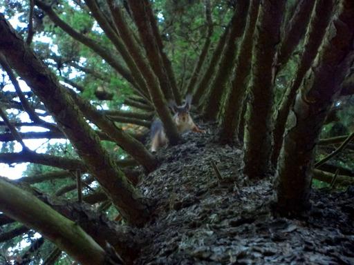 Écureuil dans un pin