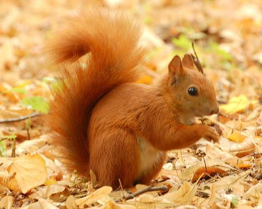 Écureuil roux en automne