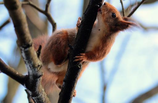 Écureuil roux léchant une branche en hiver