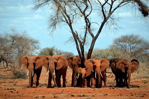 Éléphants et éléphanteau au Kenya
