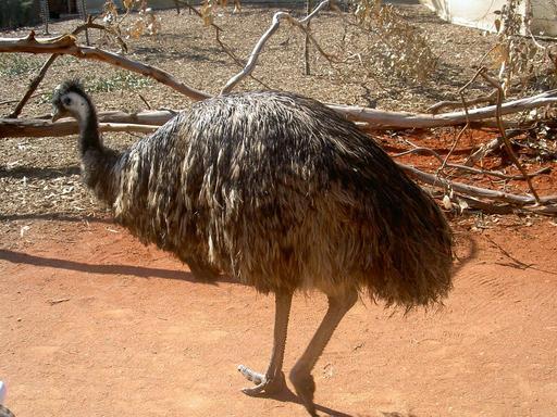 Émeu australien