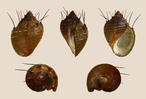 Escargot chevelu
