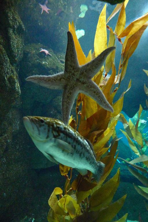Étoile de mer à l'aquarium de Lisbonne