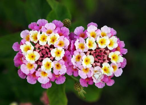 Fleurs jumelles de Lantana Camara