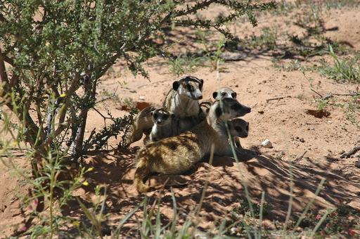 Famille de suricates à l'ombre