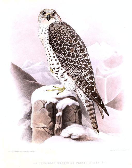 Faucon gerfaut dans la neige