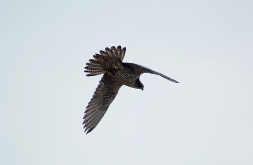 Faucon gerfaut en vol