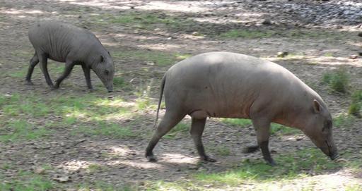 Femelle babiroussa et son petit