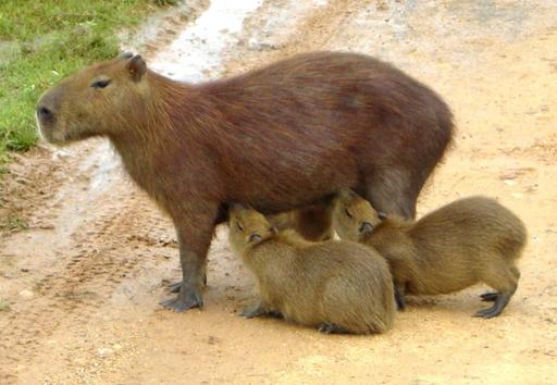 Femelle Capybara allaitant ses petits