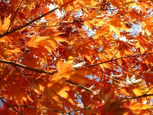 Feuilles d'érable en automne