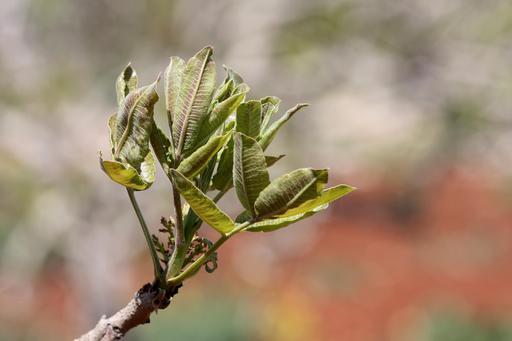 Feuilles de pistachier en Syrie