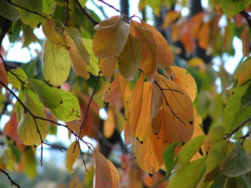 Feuilles de plaqueminier en automne