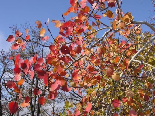 Feuilles de tremble en automne