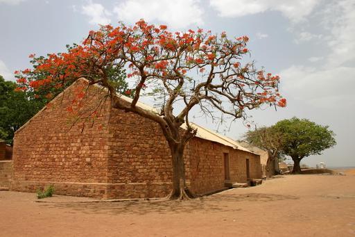 Flamboyant en fleurs au Mali