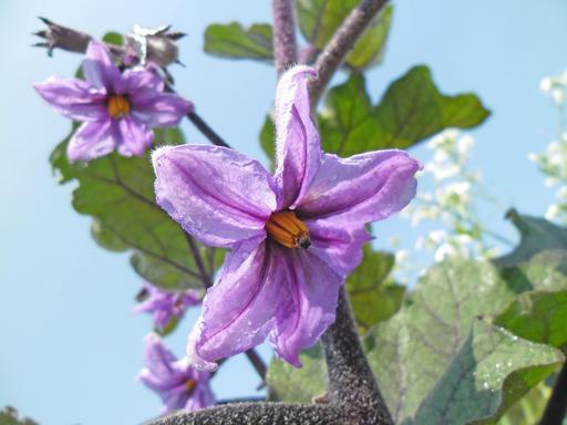 Fleur d'aubergine chinoise