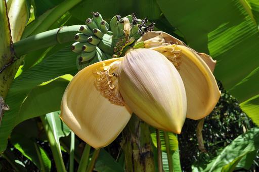 Fleur de bananier nain