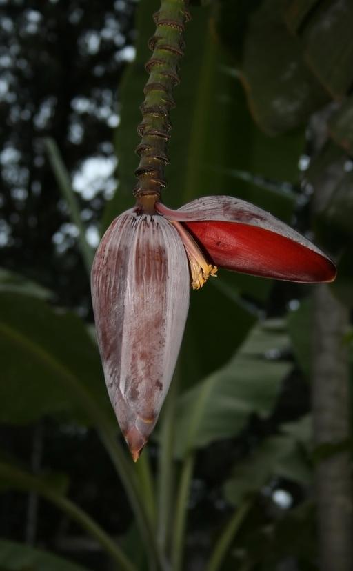 Fleur de bananier plantain