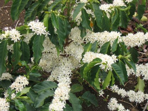 Fleur de caféier