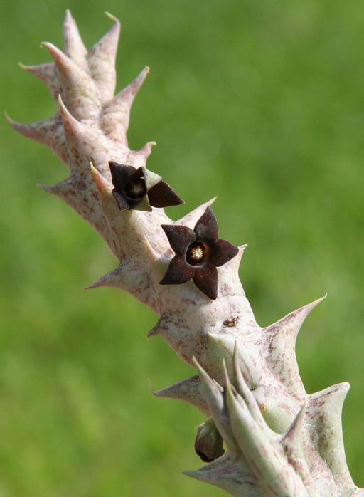 Fleurs d'Orbea decaisneana