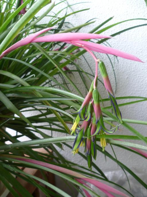 Fleurs de  Billbergia nutans