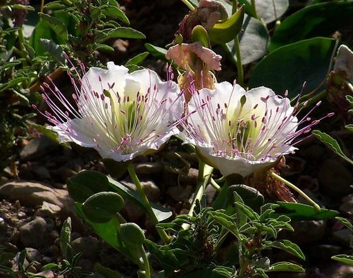 Fleurs de câprier en Espagne