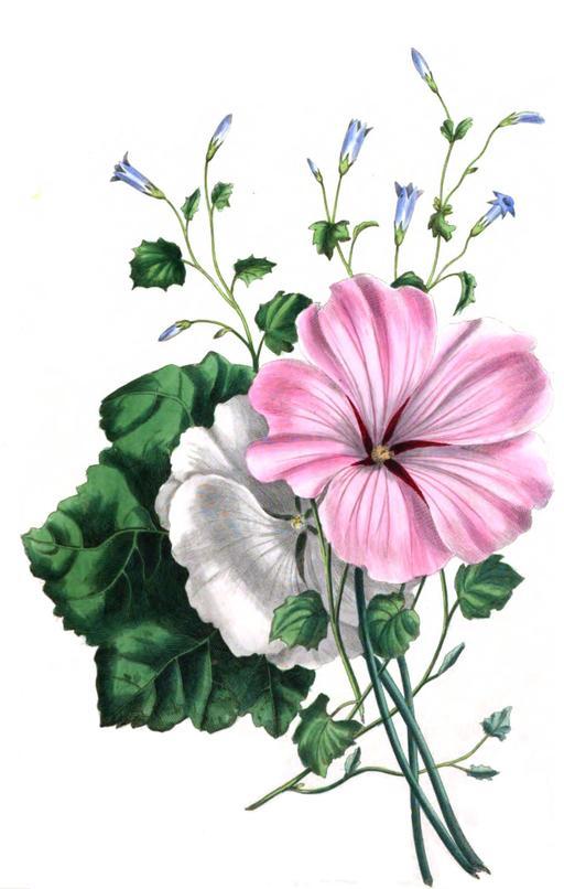 Fleurs de la fontaine en 1836