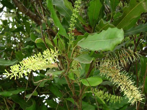 Fleurs de noyer de Macadamia