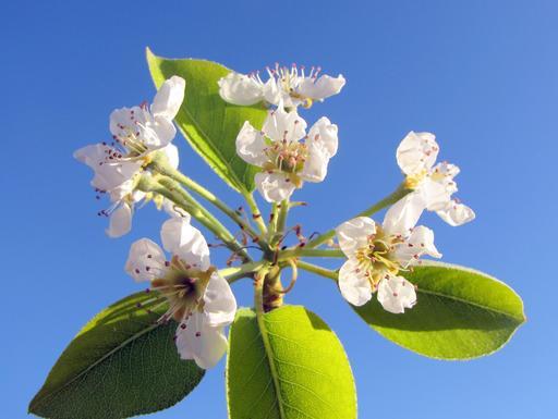 Fleurs de poirier en mars