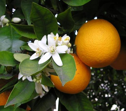 Fleurs et fruits d'oranger