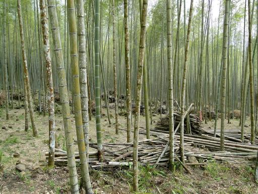 Forêt de bambous à Taïwan