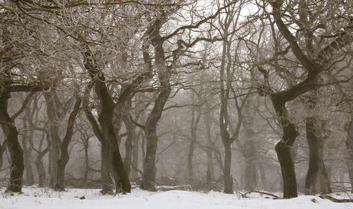 Forêt de chênes en hiver